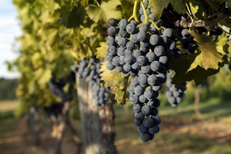 Vineyard day in Tuscany