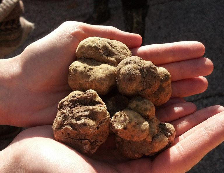 White Truffle in Siena