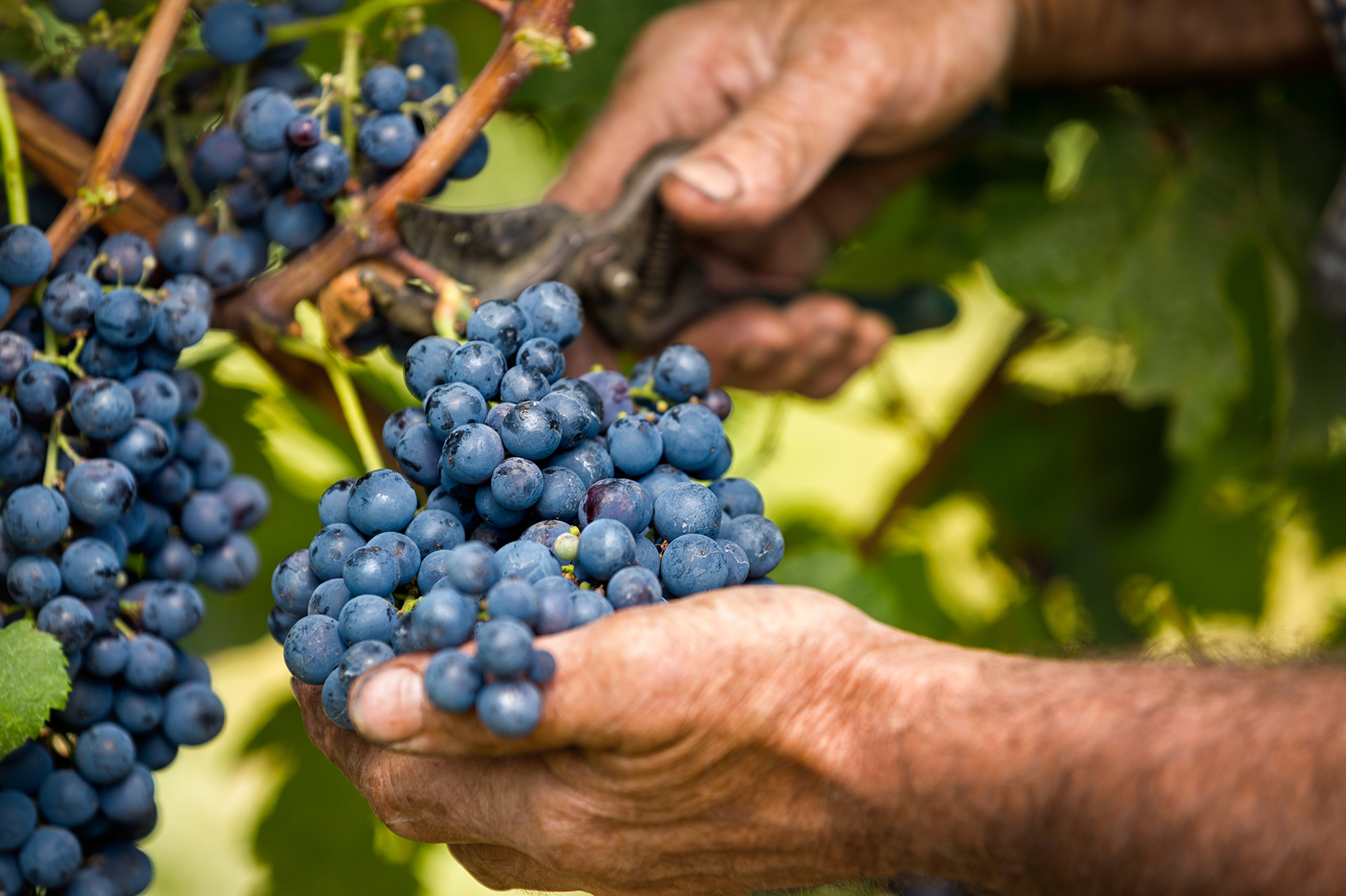 Harvest in Tuscany: our most magical moment of the year