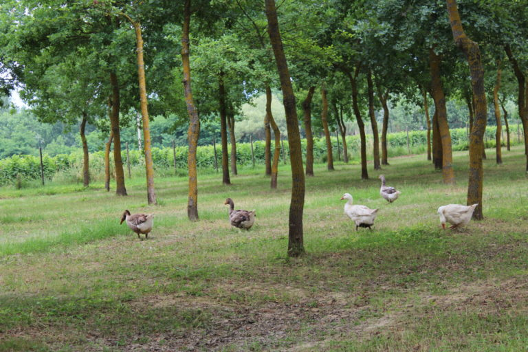 "In Tenuta Torciano Geese ""graze"" in the Vineyard"