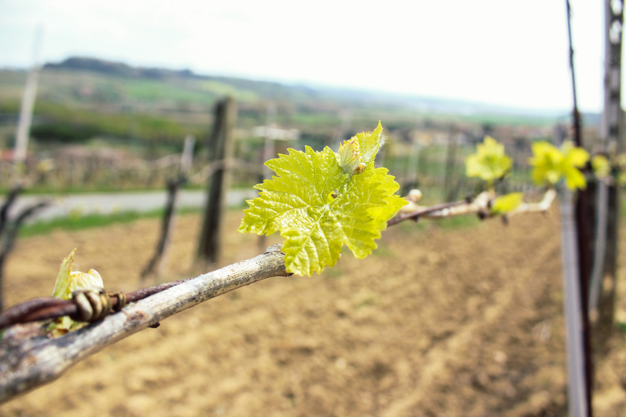 The budbreak through the rows of Torciano vineyards