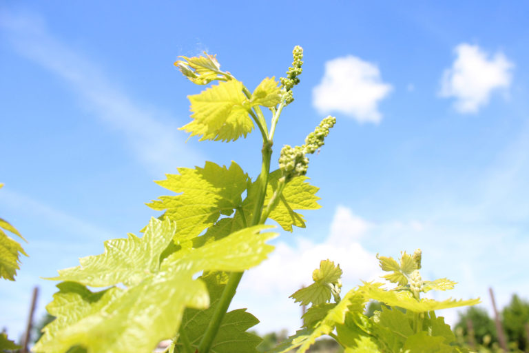The secret of flowering. Spring fragrance in the Tenuta Torciano vineyards