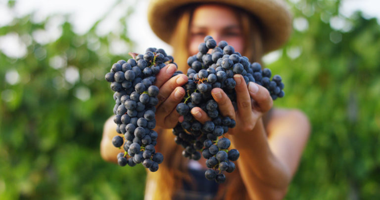 Didactic Harvest in the Torciano Vineyards