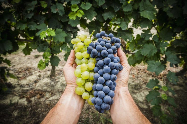 Relive the true harvest experience in Tuscany!