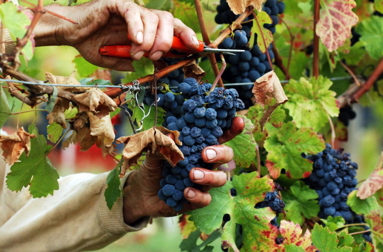 vedemmia grappolo uva