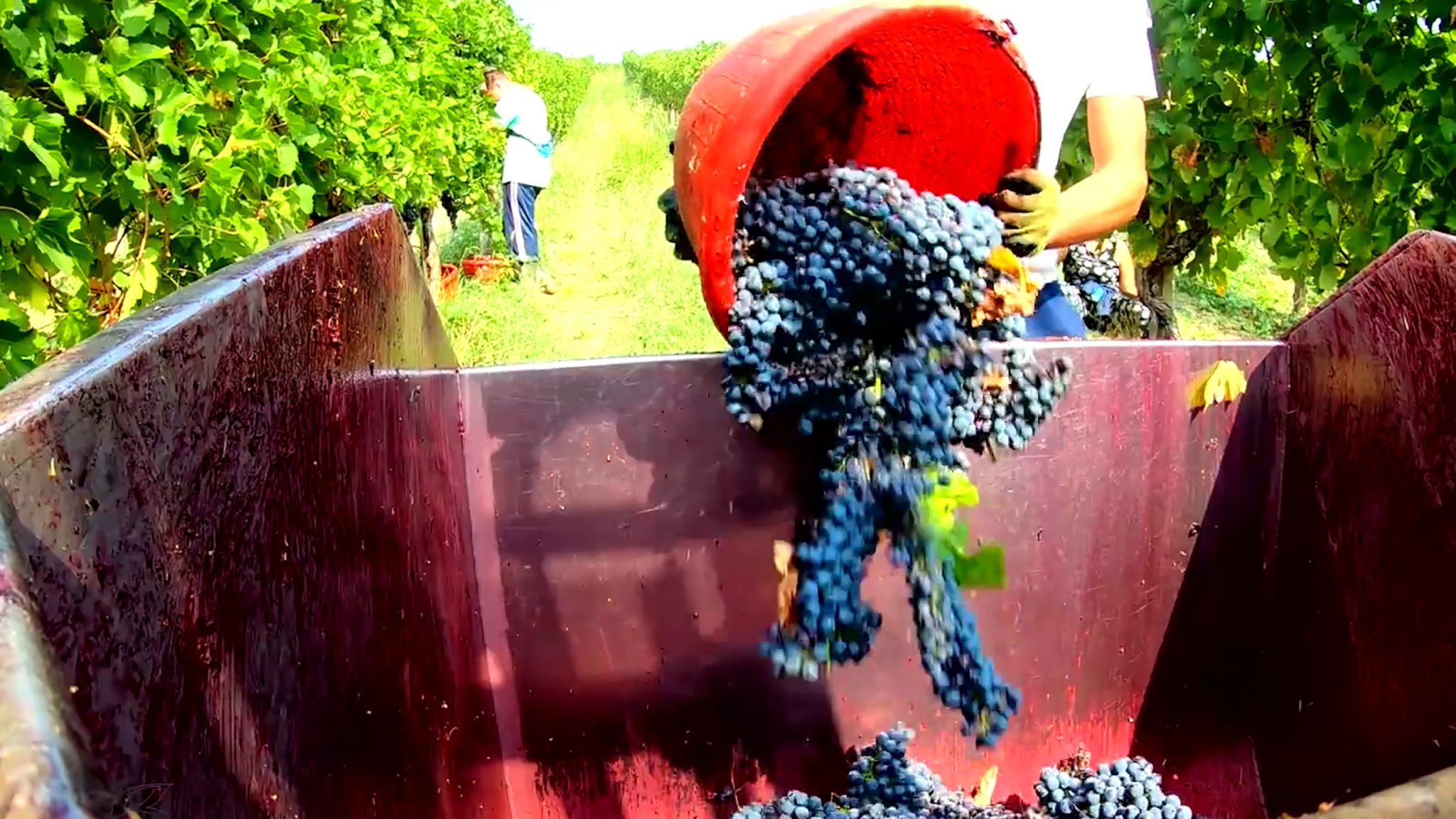 The Harvest is approaching and promises to be excellent, especially for Chianti