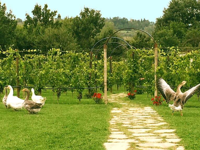 In Tenuta Torciano Geese flutter in the vineyards